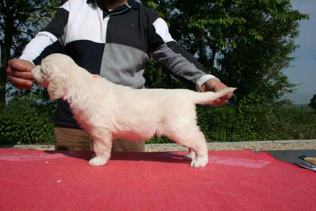 Le chiot golden retriever Paquerette