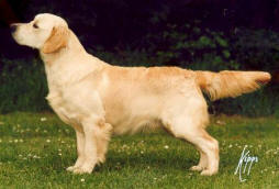 le Golden Retriever Stanroph so it had to be