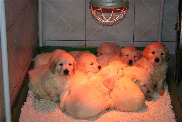 golden retrievers puppies at 6 weeks